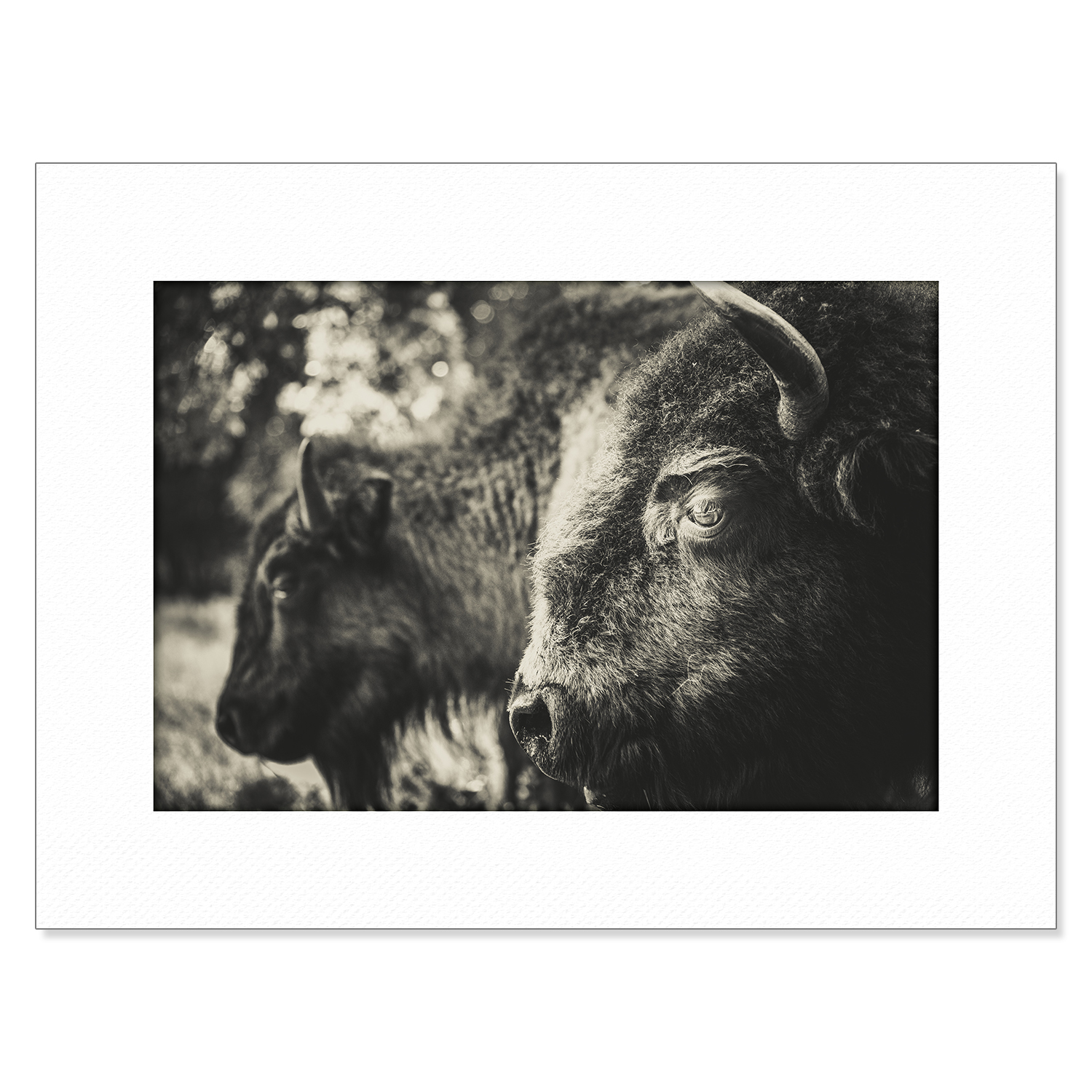 Chokma'si Signed and Numbered Print: Bison